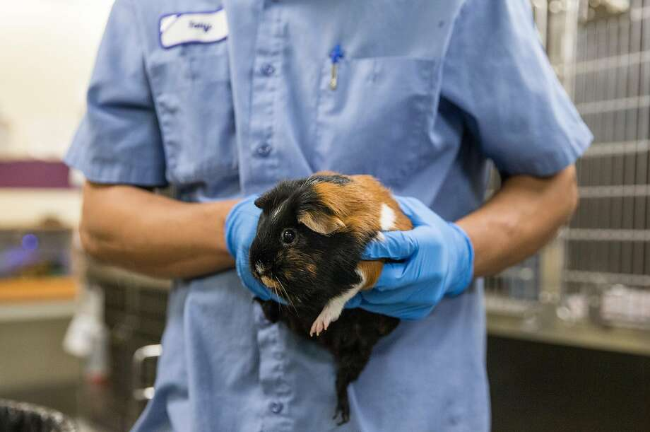 A San Francisco Animal Care and Control employee handles a guinea pig. Photo: Jessica Christian / The Chronicle