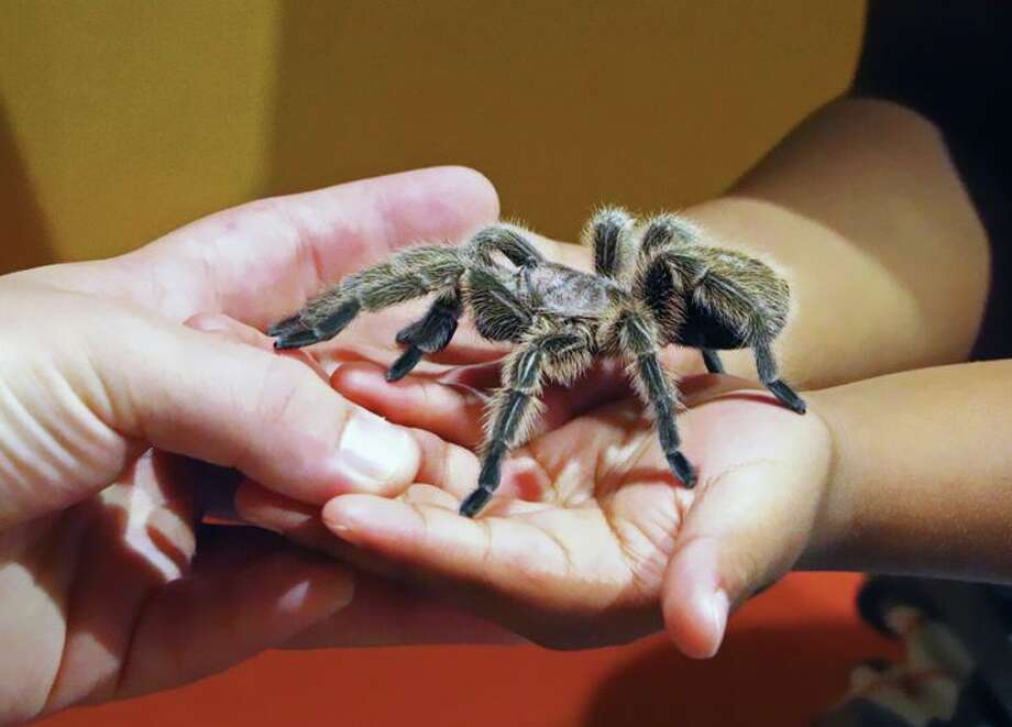 You can't bring your emotional support tarantula on American Airlines flights any more. (Image: Jim Glab) Photo: Jib Glab