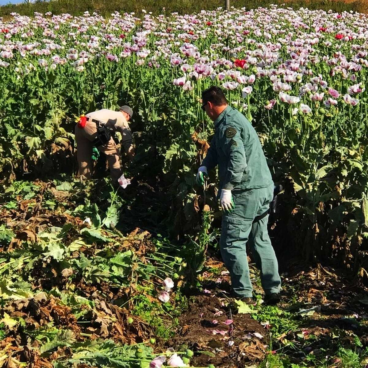 A giant opium poppy field in Moss Landing was found and destroyed by Monterey County Sheriff's deputies, investigators said Monday.