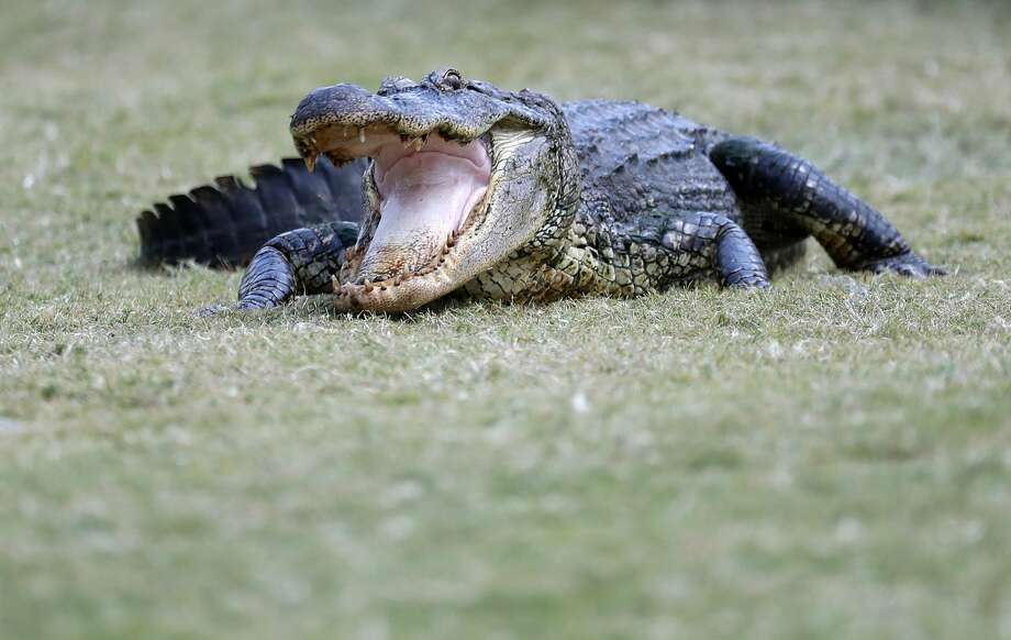 The photograph showed the 21-year-old victim lying face-down in a bathtub, a 3-foot alligator on top of him, its open mouth facing the camera. Photo: Rob Carr/Getty Images