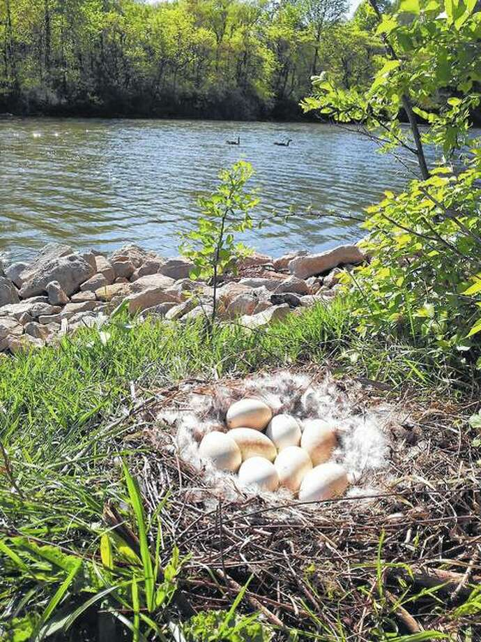 A nest filled with eggs sits, waiting to hatch, on the banks of a Jacksonville lake.