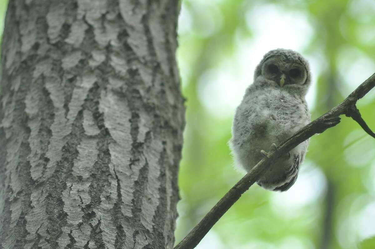 A juvenile barred owl was spotted May 16 at Kinns Road Park in Clifton Park. (Joyce Bassett / Times Union)