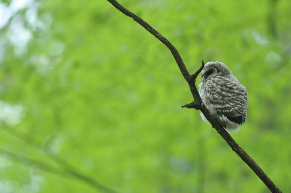A juvenile barred owl was spotted May 16 at Kinns Road Park in Clifton Park.
