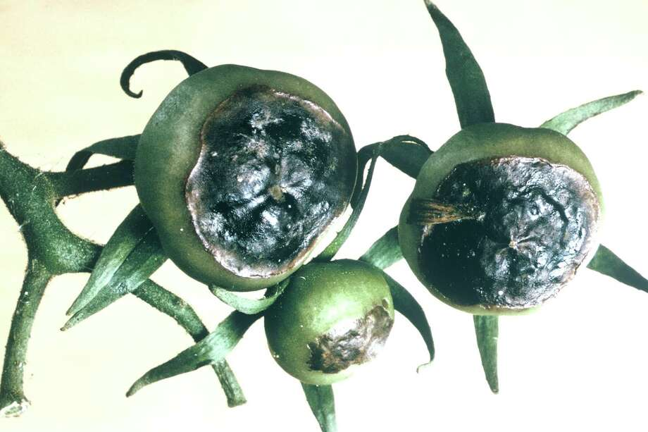 "This is a physiological disorder called blossom-end rot. As water is transported through the plant from the roots to the fruit, the far end of the tomato will be the last place to receive the water and the first place that dries out. Fruit doesn't wilt like leaves will do, but it will suffer the same kind of ""scorch"" as the leaves do when they're dry. Photo: Courtesy Photo"