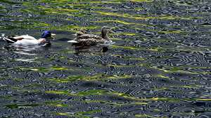 A duck family escorts their hatchling across the reflecting pool on Empire State Plaza as the color and lines from surrounding buildings and sculptures are refracted off the waters' surface on Wednesday, May 16, 2018, in Albany, N.Y. (Will Waldron/Times Union)