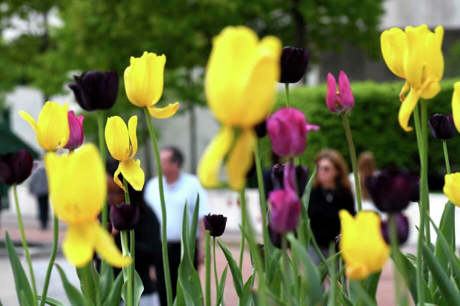 Tulips bloom on the Empire State Plaza as people walk through the state complex during lunchtime on Wednesday, May 16, 2018, in Albany, N.Y. (Will Waldron/Times Union) Photo: Will Waldron, Albany Times Union