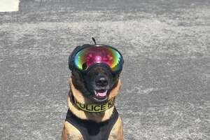 A dog wears safety gear during training exercises.