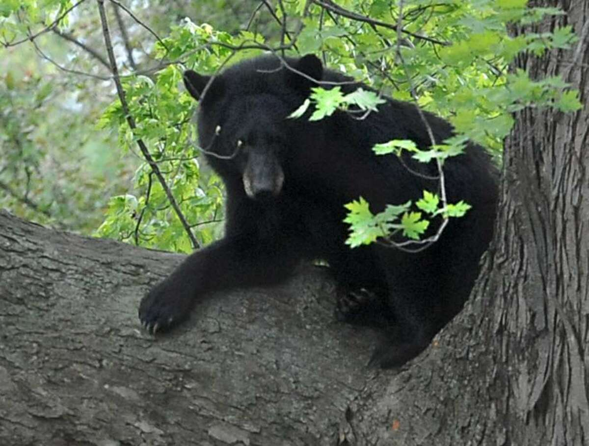 Bears are heading out of winter dens and searching for food in upstate communities. The State Department of Environmental Conservation is urging people to down bird feeders, bring in pet food and secure trash cans by April 1 to give bears less reason to wander into populated areas. (Lori Van Buren/ Times Union)