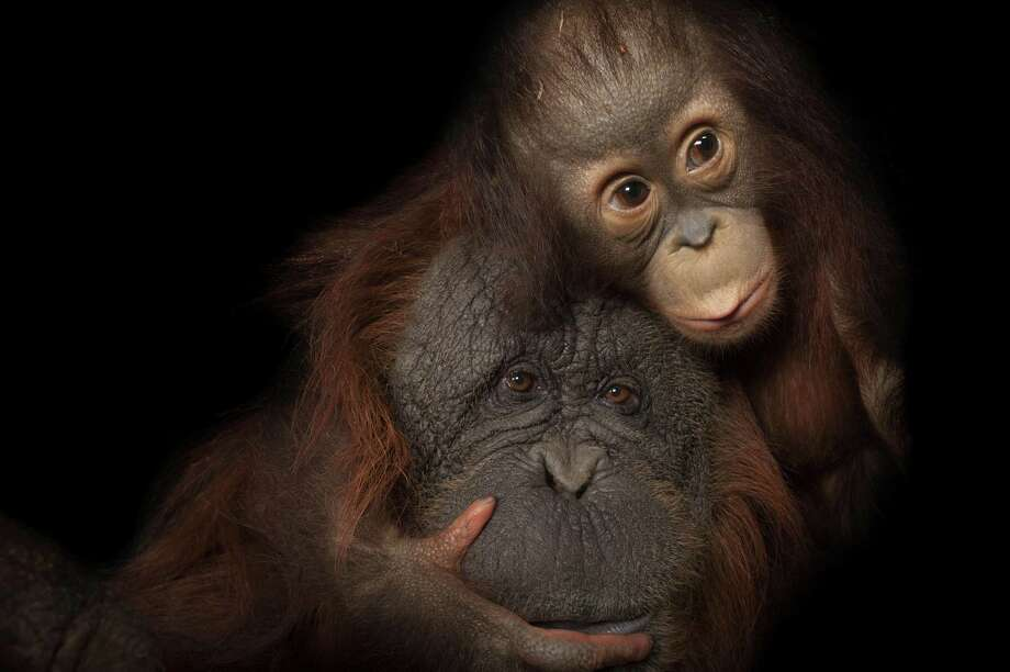 "This photo of an endangered baby Bornean orangutan, named Aurora, with her adoptive mother, Cheyenne, a Bornean/Sumatran cross, at the Houston Zoo, is part of ""National Geographic Photo Ark,"" on view at the Bruce Museum in Greenwich, June 2 through Sept. 2. Photo: Joel Sartore, National Geographic Photo Ark / Contributed Photo / Joel Sartore"