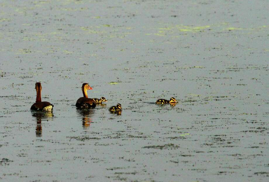 A pair of black-bellied whistling ducks keep watch as some of their newly-hatched brood feed in a forage-rich shallow wetland on Texas coastal plain. How such habitat fares this summer will play a large role in the fate of year's crop of ducklings and other wildlife. Photo: Shannon Tompkins / Houston Chronicle
