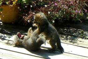 A pair of baby fox play on the deck out the back door of a home in Mill Valley in Marin County.