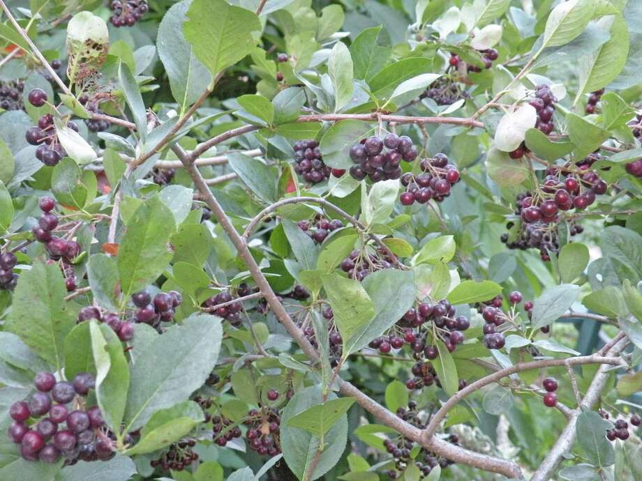 Aronia Berry Is A New Offering At Cricket Hill Gardens. Photo: Photos  Courtesy Of