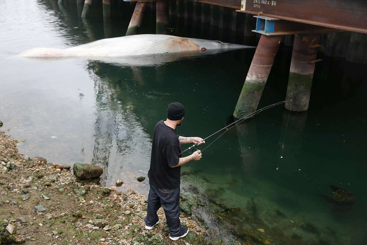 Sylvester Silva of Oakland fishes next to a dead whale at Brooklyn Basin under a bridge in the estuary south of Jack London Square on Friday, May 18, 2018 in Oakland, Calif.