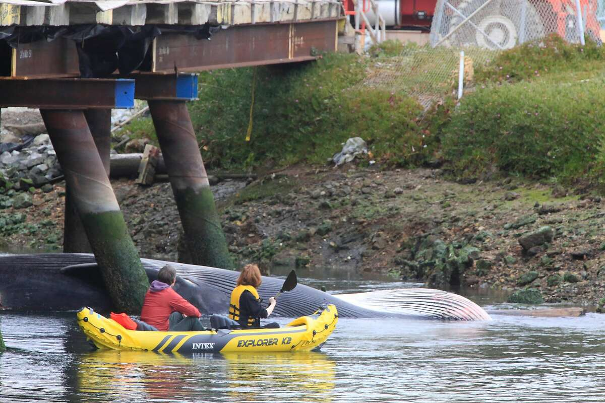 Evan Schloss (l to r) and Elizabeth Heppenstall, both of Oakland, kayak near a dead whale at Brooklyn Basin under a bridge in the estuary south of Jack London Square on Friday, May 18, 2018 in Oakland, Calif.
