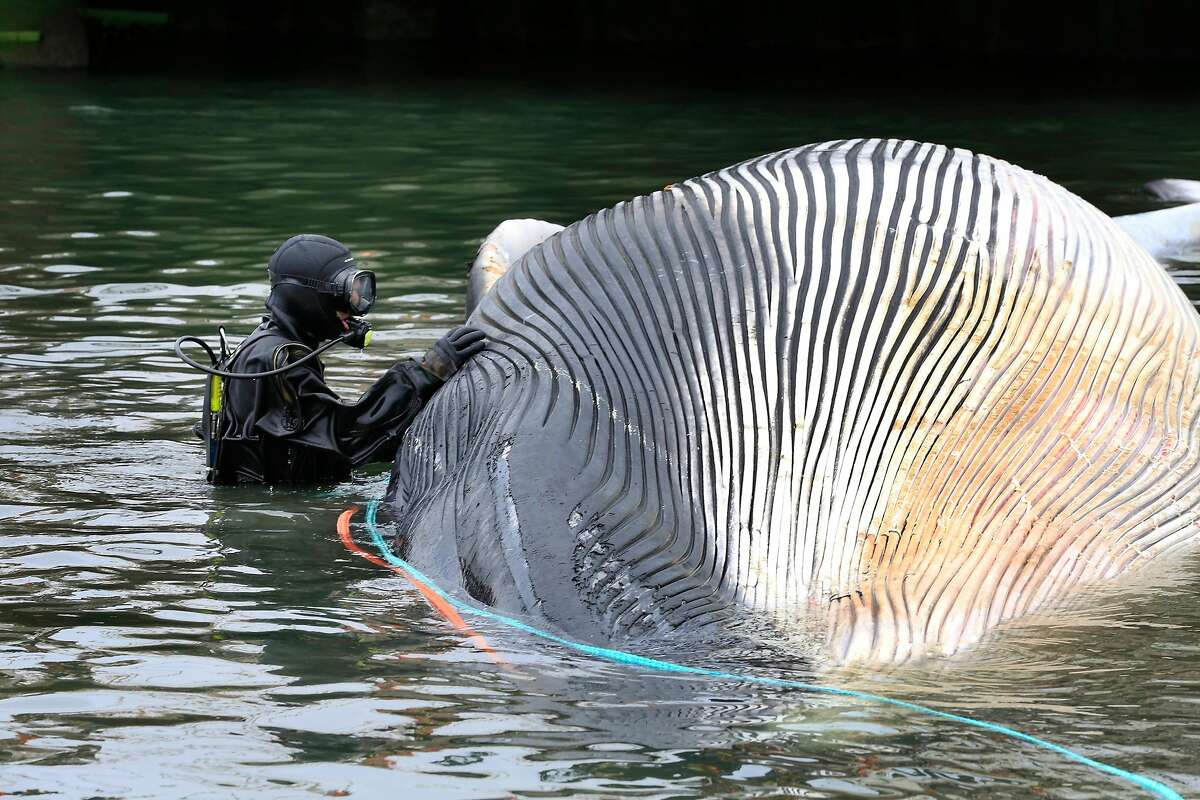 Terry Politi, with Parker Diving Service, works to secure a rope to a dead whale at Brooklyn Basin in the estuary south of Jack London Square to prepare to tow it away on Friday, May 18, 2018 in Oakland, Calif.