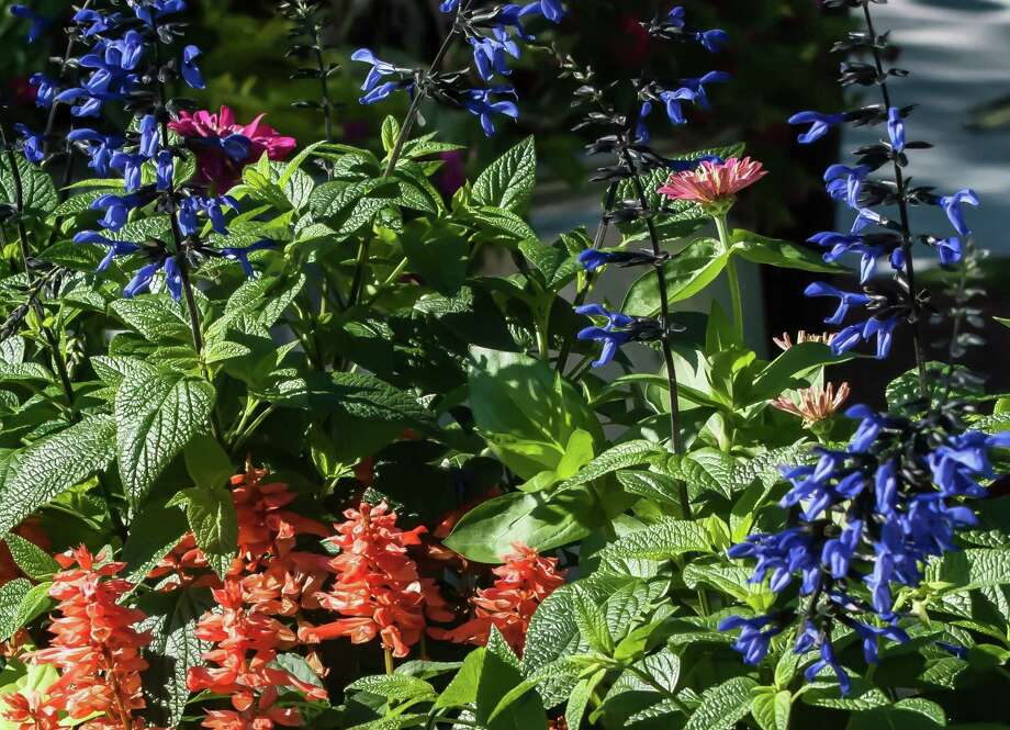 """""""Black & Bloom"""" salvia and """"Saucy Apricot"""" salvia make a dazzling marriage of rare garden colors. Photo: Norman Winter, HO / TNS / TNS"""