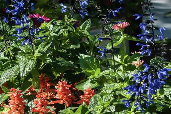 """Black & Bloom"" salvia and ""Saucy Apricot"" salvia make a dazzling marriage of rare garden colors."