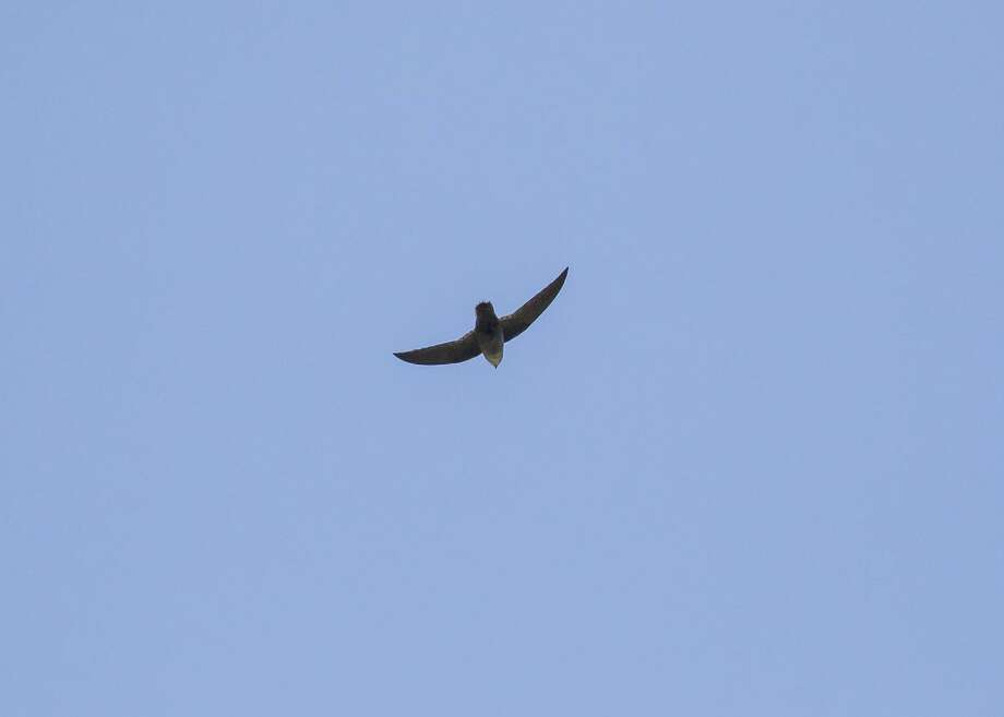 Chimney swifts have tapered bodies that look like cigars. Watch for them hunting insects in the evenings over area neighborhoods and parks. Photo: Kathy Adams Clark / Kathy Adams Clark/KAC Productions / Kathy Adams Clark/KAC Productions