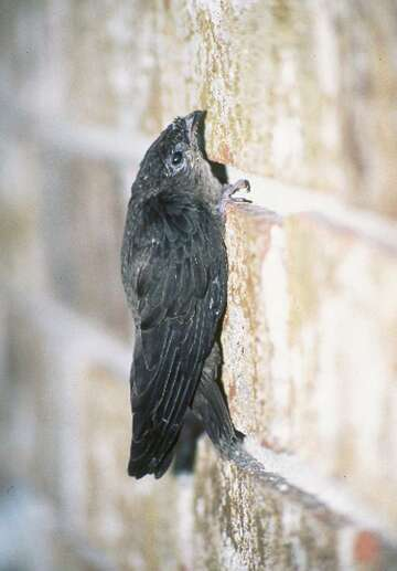 Chimney swifts scoop up unwanted insects - HoustonChronicle com