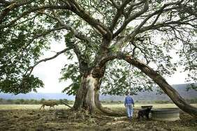 "Tony Turner, whose grandfather George F. Turner arrived in Chamal in 1907, checks on his cattle under a century old ""Orejon"" tree, on May 2, 2018. Turner is one of a handful of Americans that remain in the area."