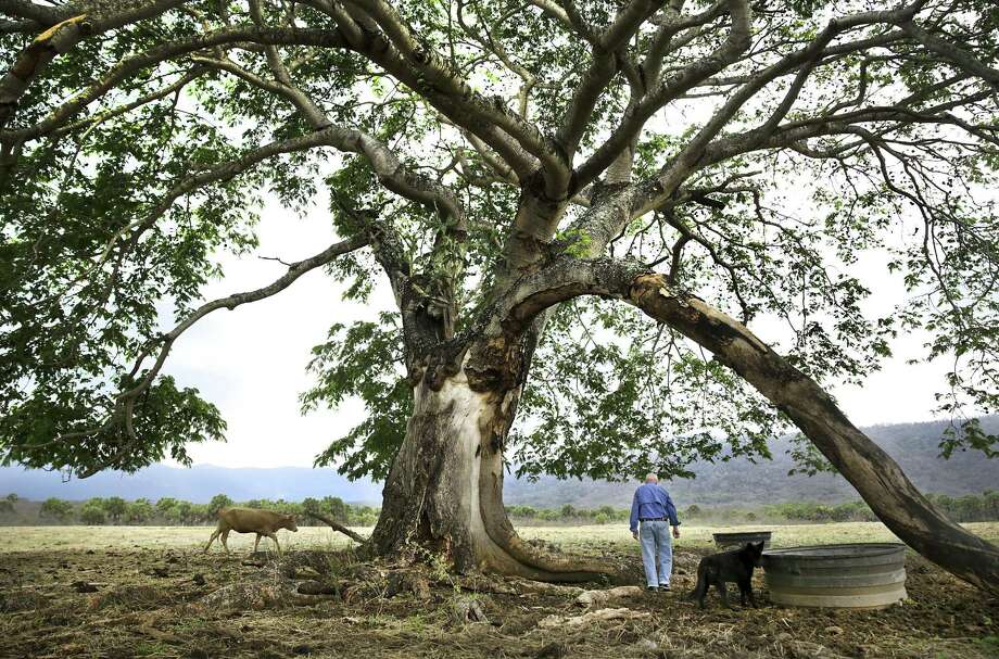 "Tony Turner, whose grandfather George F. Turner arrived in Chamal in 1907, checks on his cattle under a century old ""Orejon"" tree, on May 2, 2018. Turner is one of a handful of Americans that remain in the area. Photo: Bob Owen,  Staff / San Antonio Express-News / ©2018 San Antonio Express-News"