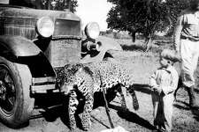 Jaguars, known as ÒtigersÓ to the locals, were a  constant problems for the early ranchers in Chamal, who hunted them with dogs in the mountains. A local child inspects one killed by store owner Bob Britt   Photo Courtesy of blalock Mexico Colony Project