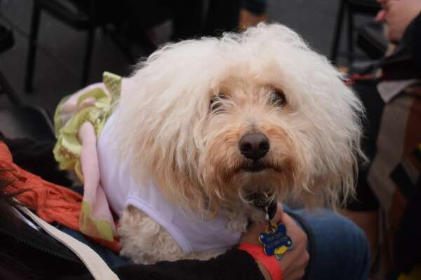 """Dogs of all kinds came to the SPCA on Florida Street to celebrate at """"Bay to Barkers"""" on Friday night."""