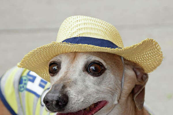 Cosmo, an Italian Greyhound owned by Samantha Carlisle of Alton, is ready to meet new friends on Saturday.