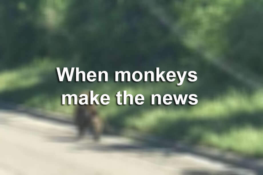 Monkeys have made headlines around the world. And this is the second time a baboon has escaped in San Antonio. Photo: Monkey Blur