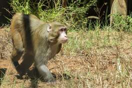 The sanctuary holds up to 550 primates.