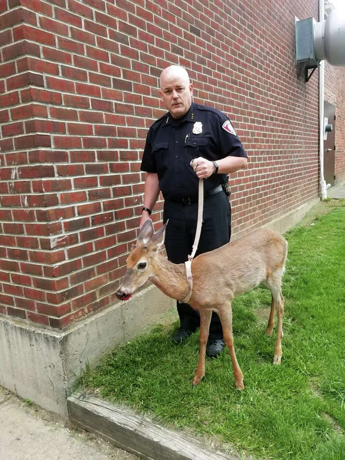 Watervliet Police Chief Mark Spain with an injured deer on May 22, 2018.