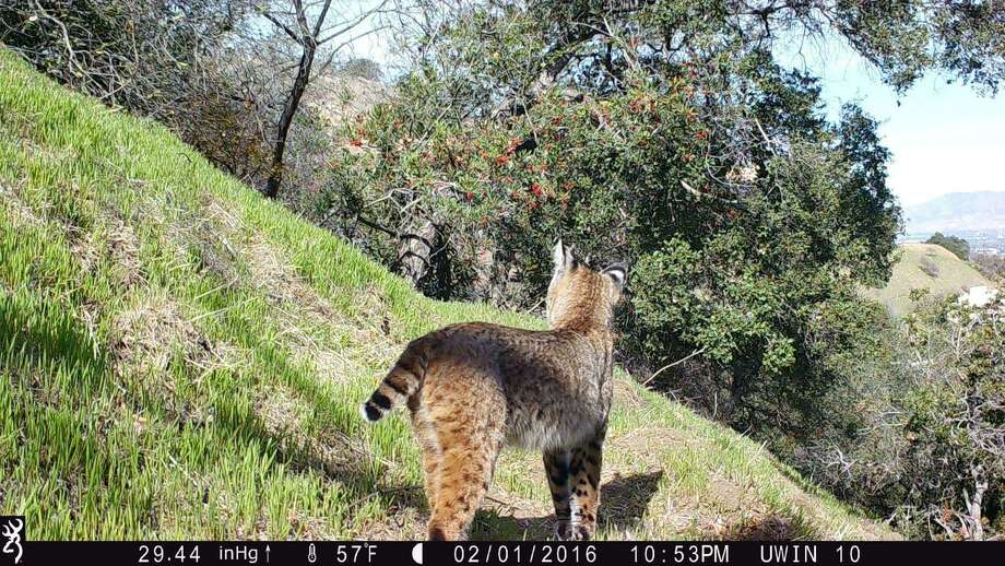 A bobcat wanders along the Los Angeles River. Photo: Courtesy Of National Park Service / Courtesy Of National Park Service / The Washington Post