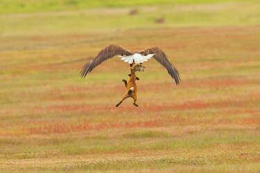 Local Wildlife Photographer Catches Bald Eagle Swiping Rabbit From