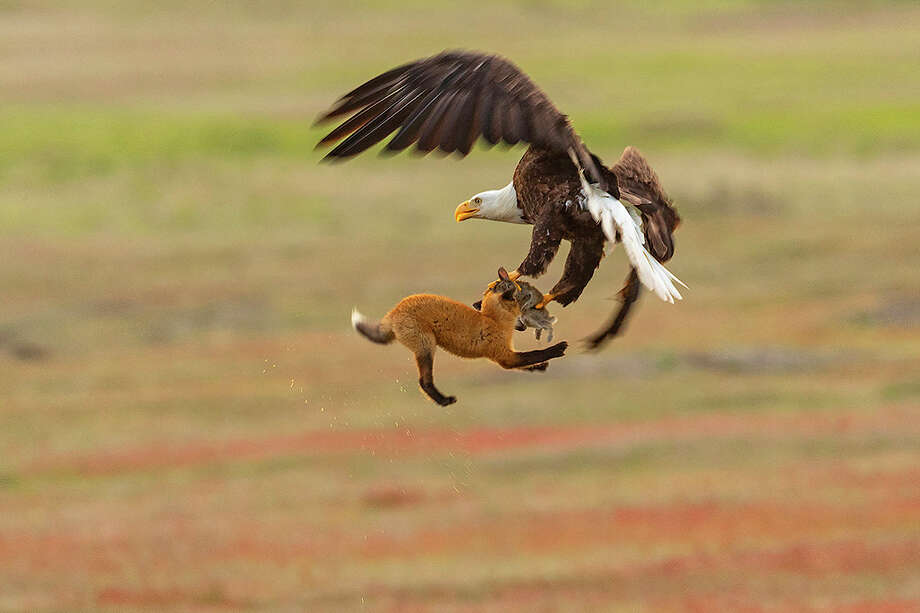 A bald eagle and a red fox tussle in mid-air over a European rabbit in San Juan Island National Historical Park in Washington state. The fight began when the bald eagle attempted to steal the rabbit away from the young fox, known as a kit. When the bald eagle grabbed the rabbit, it inadvertently also caught the fox, lifting both more than 20 feet into the air. The fox swung back and forth trying to take the rabbit back. The bald eagle released the fox and flew off with the rabbit. The whole struggle lasted 8 seconds. Both European rabbits (Oryctolagus cunuculus) and red foxes (Vulpes vulpes) were introduced to San Juan Island. The rabbits were introduced to the island in the 1890s by settlers; foxes were introduced occasionally in the 1900s. The European rabbits in particular are considered an invasive species, turning the prairie into an unsustainable barren landscape with their vast burrows. This displaces small native mammals, such as the Townsend's vole. While bald eagles and foxes occasionally hunt rabbits, it is a relatively rare occurrence. Up to 97 percent of an eagle's diet consists of fish and birds; red foxes more commonly eat berries, insects and small mammals, like the vole. Photo: Kevin Ebi/LivingWilderness.com / Copyright 2018 Kevin Ebi/LivingWilderness.com. All rights reserved.