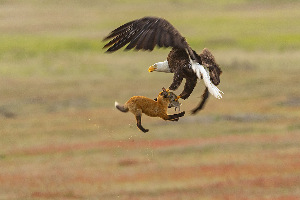 Local Wildlife Photographer Catches Bald Eagle Swiping Rabbit From Baby Fox In San Juan Islands Seattlepi Com