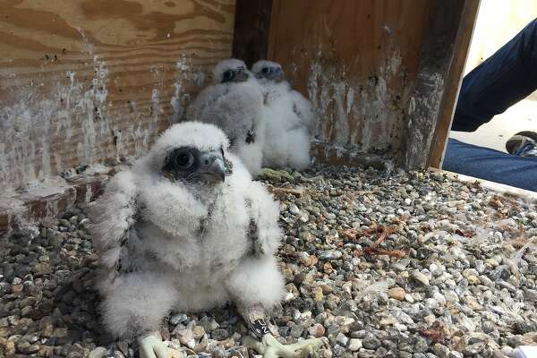 Three peregrine falcon chicks hatched in April atop the UC Berkeley Campanile. Now the campus is holding a naming contest for the chicks that are expected to fly off around June 1.