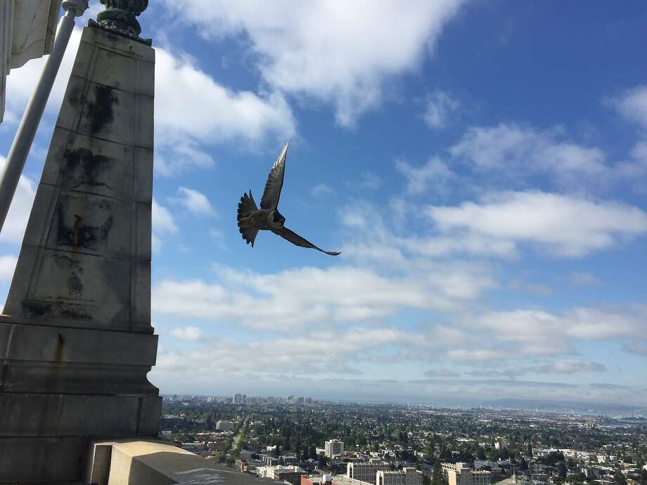 Peregrine falcons are the fastest animals on the planet, clocked at up to 300 mph. This is one of a pair of peregrines that returned in April for the second year to nest atop the UC Berkeley Campanile. Now the campus holding a contest to name the three chicks that are expected to fledge around June 1. Photo: Maria Garcia-Alvarez / UC Berkeley