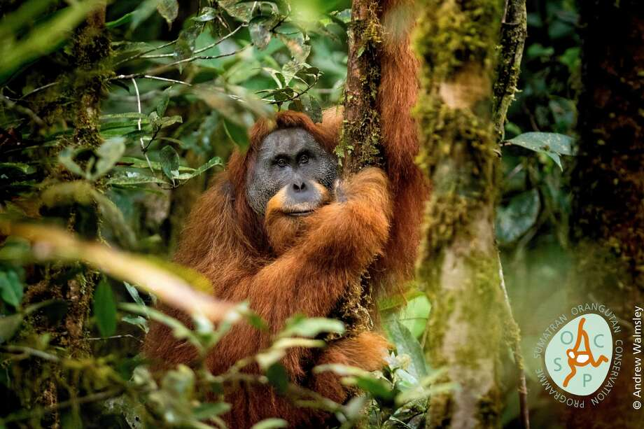 "Tapanuli	Orangutan:	Endangered	great	ape Pongo	tapanuliensis Location: Sumatra,	Indonesia ""Pongo tapanuliensis is the most imperiled great ape in the world. Only an estimated 800 individuals exist in fragmented habitat in Sumatra. In	2001,	the	orangutans	of	Sumatra	and	