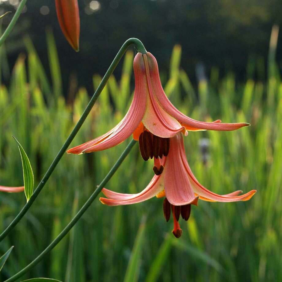 A Native Canada lily. The lily family contains some of the showiest flowers to be found anywhere. (credit: Peter D. Bowden)