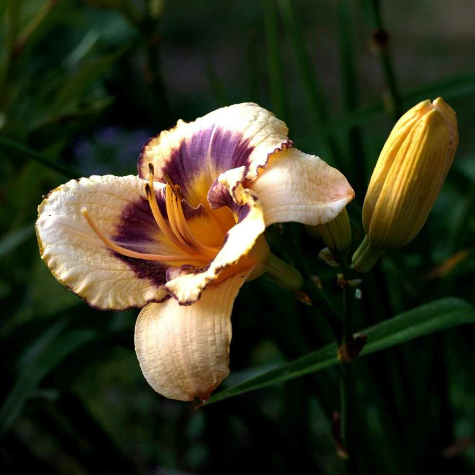 A tetraploid daylily. The lily family contains some of the showiest flowers to be found anywhere.