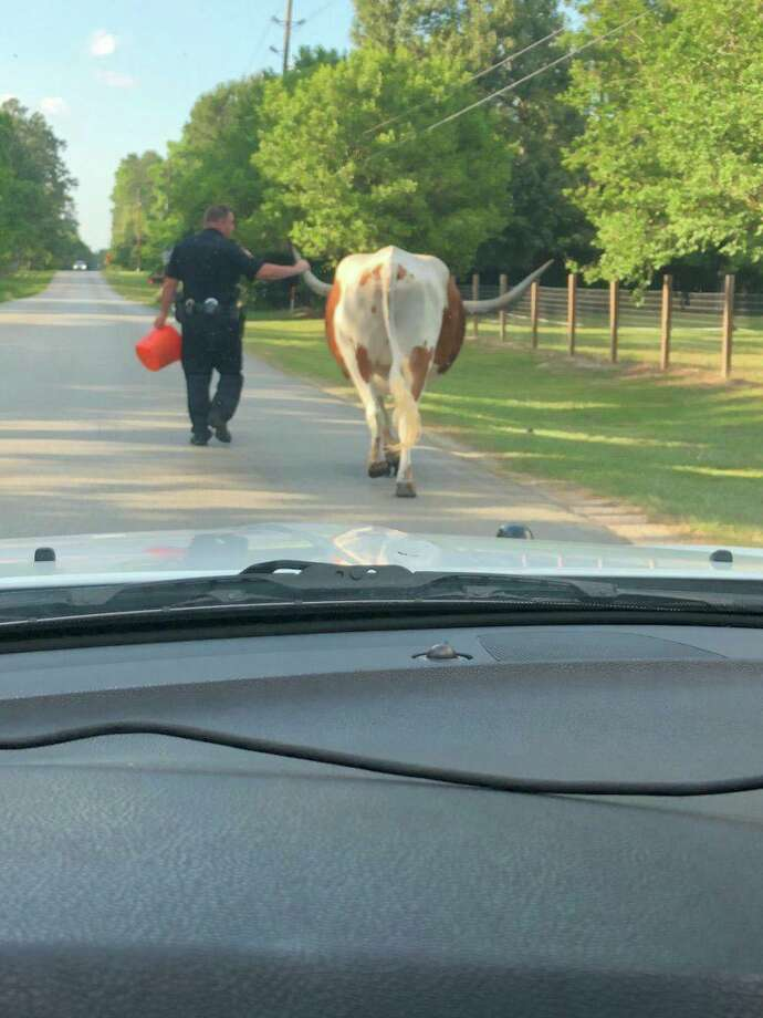 A Montgomery County deputy leads a longhorn steer named Samson back to his home in a Facebook photo posted Sunday, May 20, 2018 by the Montgomery County Sheriff's Office. Photo: Montgomery County Sheriff's Office