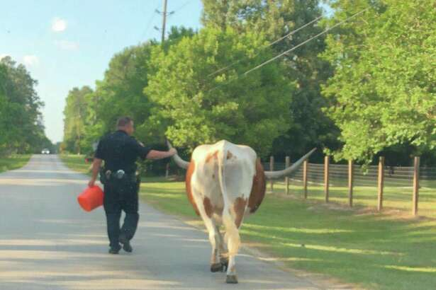 A Montgomery County deputy leads a longhorn steer named Samson back to his home in a Facebook photo posted Sunday, May 20, 2018 by the Montgomery County Sheriff's Office.
