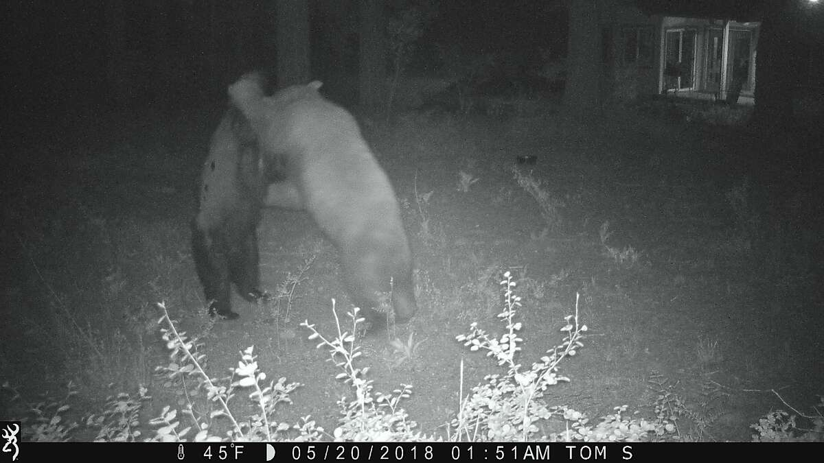 Photo 5 of 12: The bears rise up to tussle a bit and start their love play
