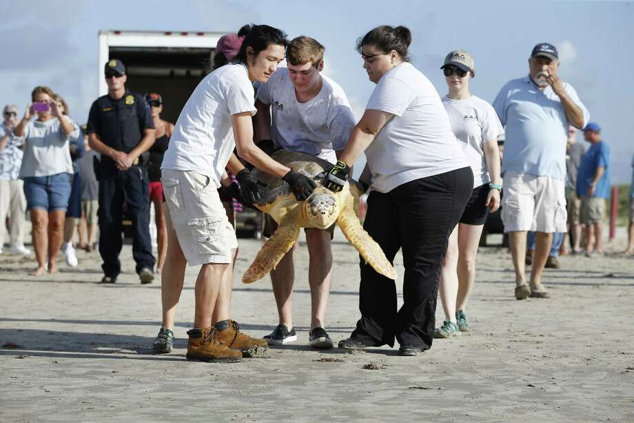 Representatives from Moody Gardens carry a Loggerhead sea turtle to the water of Stewart Beach Wednesday, May 23, 2018, in Galveston. The National Oceanic and Atmospheric Administration (NOAA) Galveston Lab released 11 sea turtles that have completed their rehabilitation at the NOAA Sea Turtle Hospital and the Moody Gardens Aquarium. Photo: Steve Gonzales, Houston Chronicle / Houston Chronicle / © 2018 Houston Chronicle