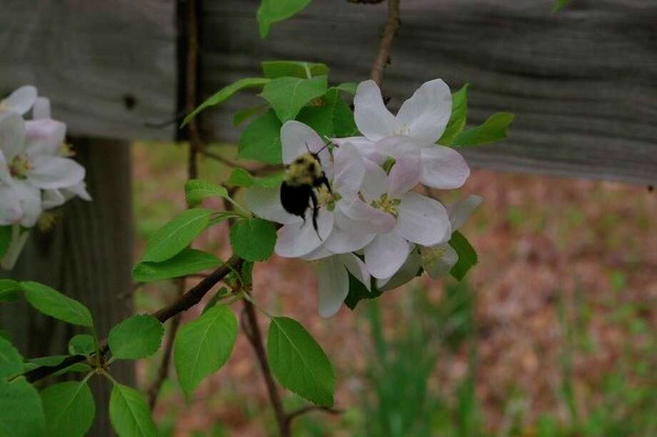 A bumblebee pollinating McIntosh apple blossoms. (Dan Draves)