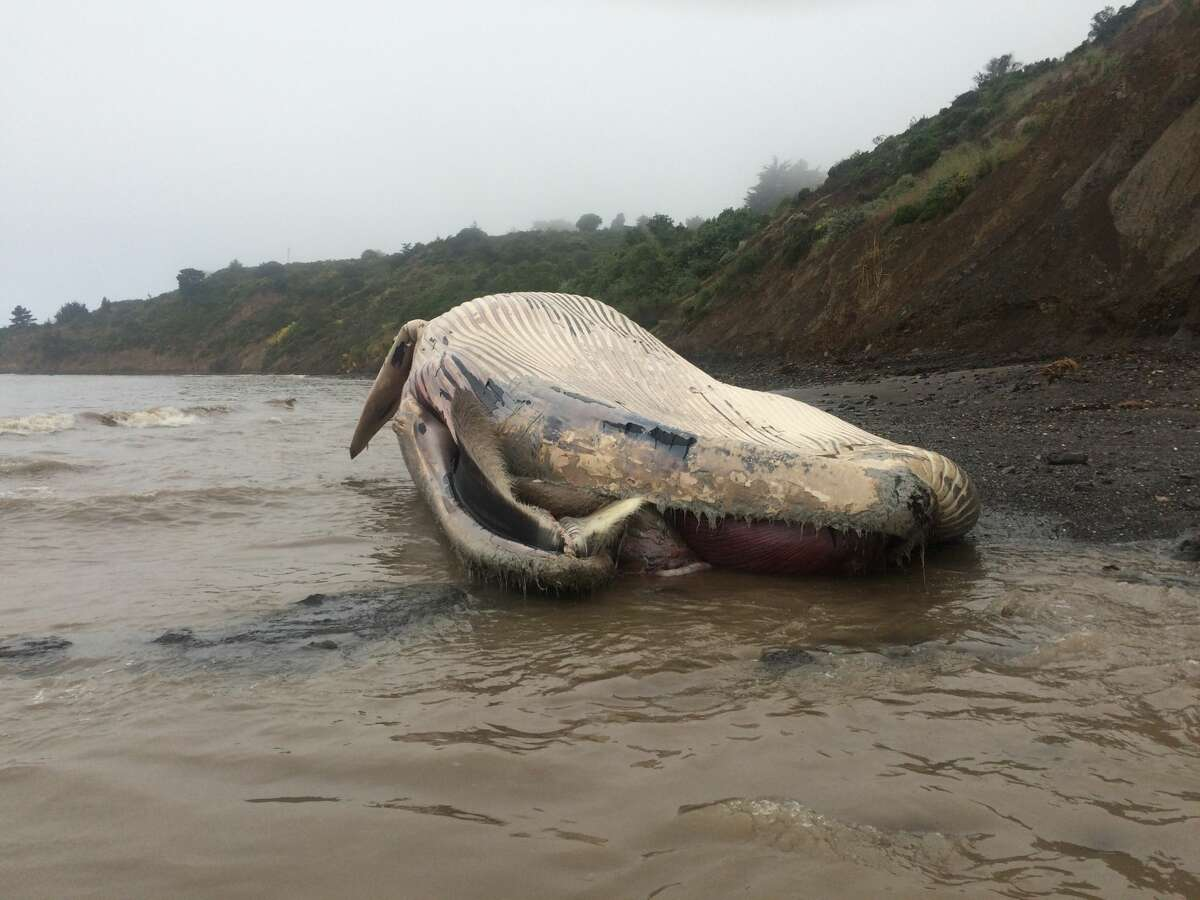 The Marine Mammal Center confirms a whale carcass washed ashore Tuesday between Brighton and Agate Beach in Bolinas, the third dead whale since Friday to strand in the San Francisco Bay Area. Scientists from the Center and its partners at California Academy of Sciences were on-scene Wednesday afternoon to make preliminary observations and identified the carcass as a 58-foot long subadult female fin whale. The Center is working with NOAA and California Academy of Sciences to develop a plan to perform a necropsy, or animal autopsy, to determine the cause of death on Friday.