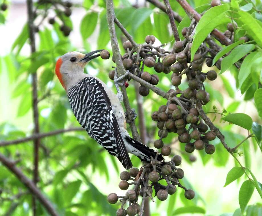 The birds are nesting, so fruits, seeds and insects are necessary if area bird species are going to successfully raise their young. Photo: Passion4nature /Getty Images / IStockphoto / This content is subject to copyright.