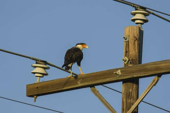 Crested caracara, folk named Mexican eagle, can be seen on power poles around the Katy Prairie.