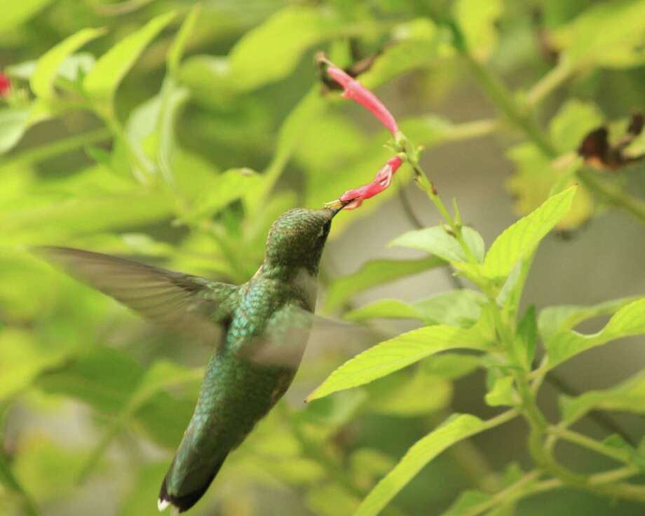A hummingbird finds nectar from a pineapple sage. Hummingbirds are attracted to red tubular flowers for nectar. Photo: Kathleen Scott, Freelancer / For The Express-News / San Antonio Express-News