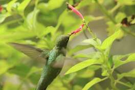 A hummingbird finds nectar from a pineapple sage. Hummingbirds are attracted to red tubular flowers for nectar.